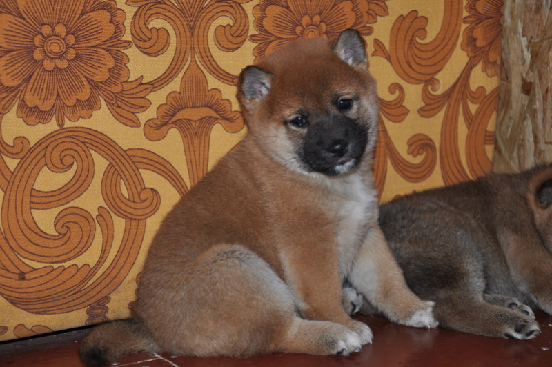 Прошу оценить щенка - Страница 2 Azea10