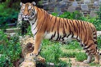 அஸ்ஸாமில் புலிகள் எண்ணிக்கை உயர்வு! Tiger_10