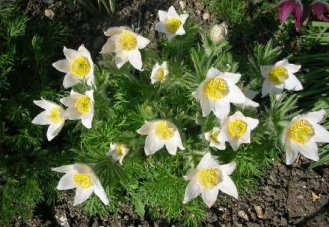 Floarea pastelui 652x4510