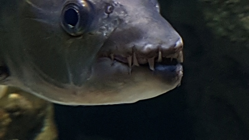 Hydrocynus vittatus - African Tiger Fish 20170334