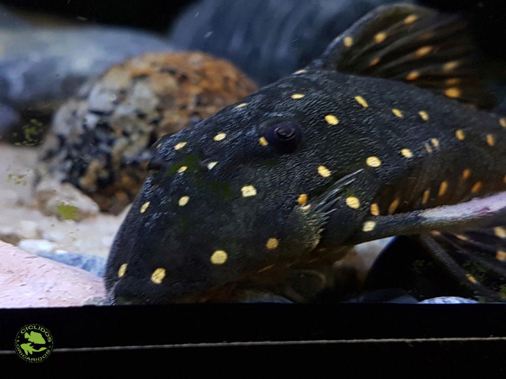 Panaqolus albomaculatus (Kanazawa, 1958) - LDA031, Mustard Spot Pleco - Página 2 Dexati14