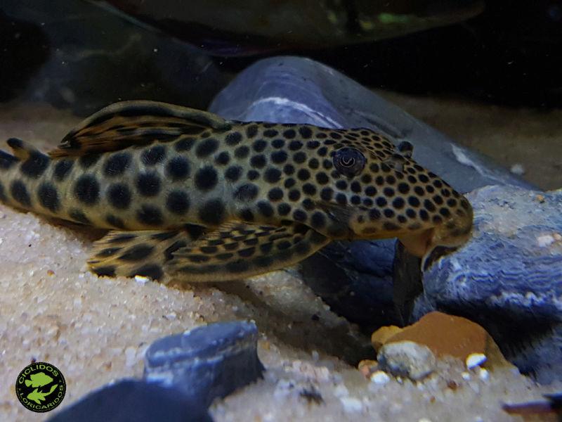 Peckoltia sabaji  Armbruster, 2003 (L075-LDA002-L124-L301) - Página 2 Dexati16