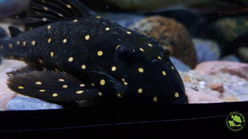 Panaqolus albomaculatus (Kanazawa, 1958) - LDA031, Mustard Spot Pleco - Página 2 Dexati32