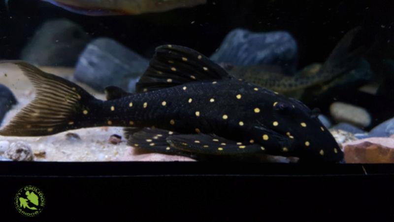 Panaqolus albomaculatus (Kanazawa, 1958) - LDA031, Mustard Spot Pleco - Página 2 Dexati34
