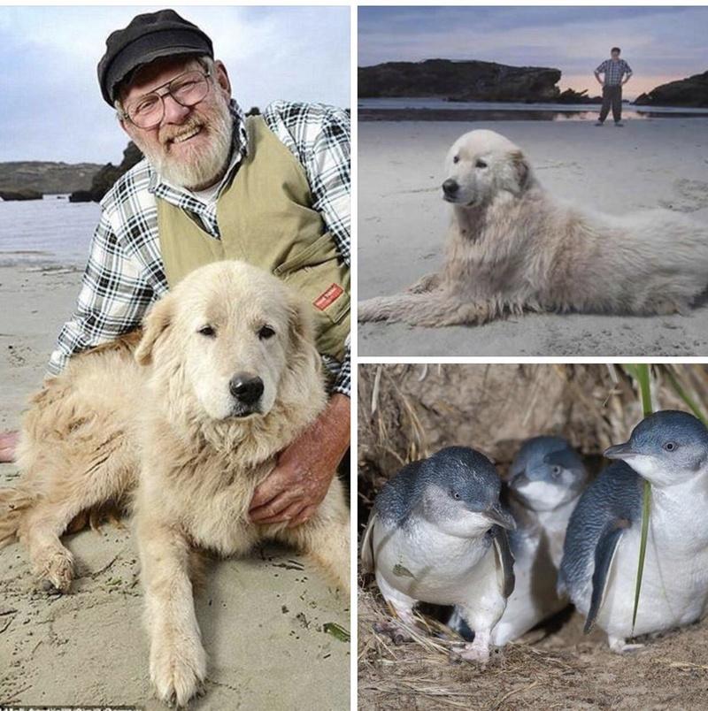 В Австралии умер пес, всю жизнь защищавший пингвинов C4vjn210