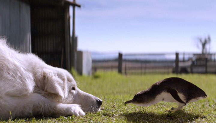 В Австралии умер пес, всю жизнь защищавший пингвинов Xw_13710