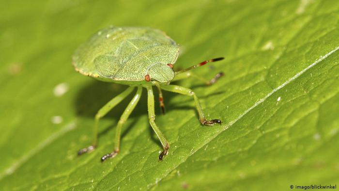 Bretaña. Emplean insectos para controlar las plagas en los cutivos de tomate y evitar los plaguicidas. 18585710