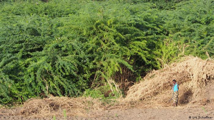 Cuando plantar árboles es más perjudicial que beneficioso. El mezquite (Prosopis juliflora) en Kenia. 56879110