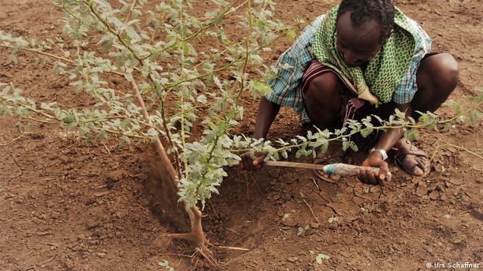 Cuando plantar árboles es más perjudicial que beneficioso. El mezquite (Prosopis juliflora) en Kenia. 56879112