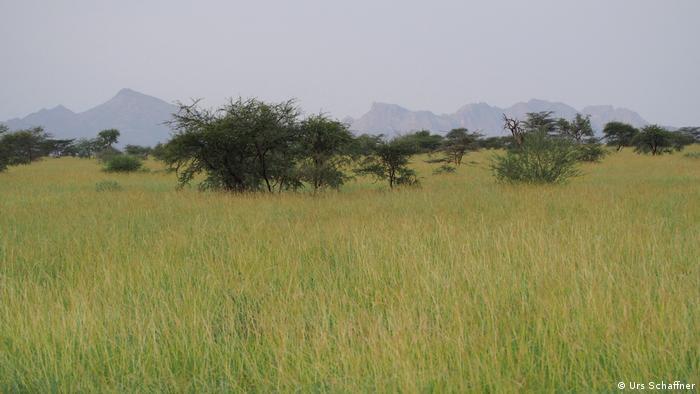Cuando plantar árboles es más perjudicial que beneficioso. El mezquite (Prosopis juliflora) en Kenia. 56879113