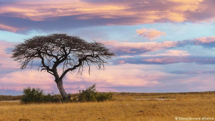 Cuando plantar árboles es más perjudicial que beneficioso. El mezquite (Prosopis juliflora) en Kenia. 56883910