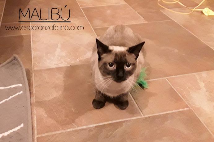 Malibú, preciosa gatita en adopción, Alava. (FN:12/05/16) 20170310