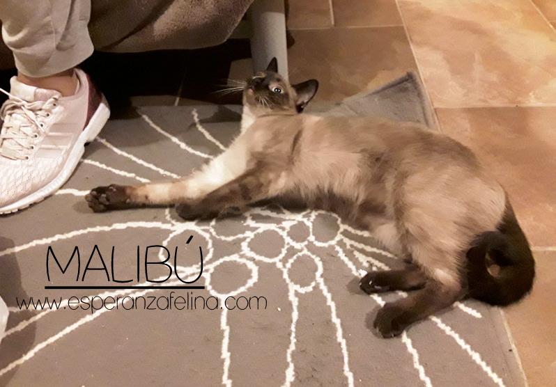 Malibú, preciosa gatita en adopción, Alava. (FN:12/05/16) 20170311
