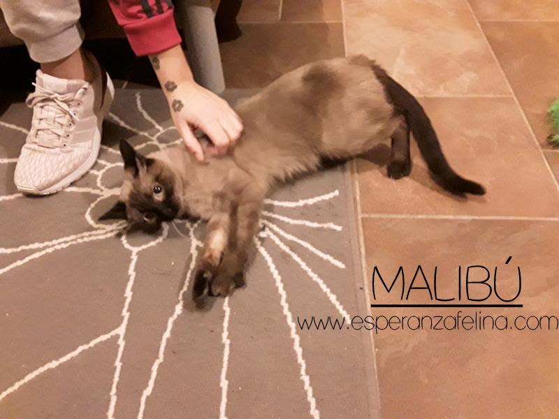 Malibú, preciosa gatita en adopción, Alava. (FN:12/05/16) 20170312
