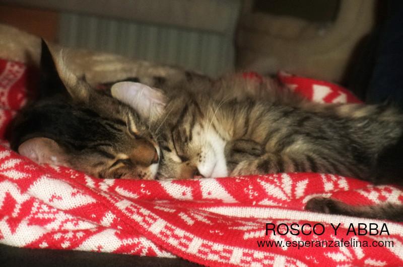 Abba y Rosco, hermanos peluchones en adopción (Fecha nac aprox: 09/16) ¡ADOPTADOS! Abba_y11