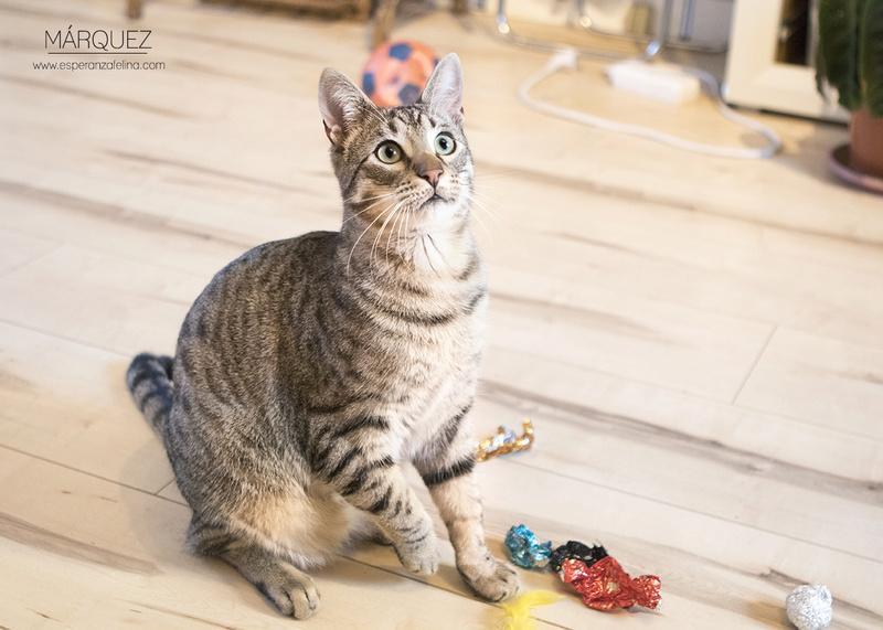 Marquez, gatito atigrado cariñoso en adopción. Alava (Fecha nac. Aprox: 04/2016) ¡Adoptado! Marque12