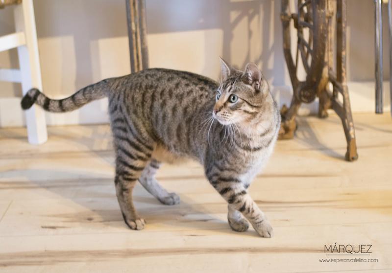 Marquez, gatito atigrado cariñoso en adopción. Alava (Fecha nac. Aprox: 04/2016) ¡Adoptado! Marque13
