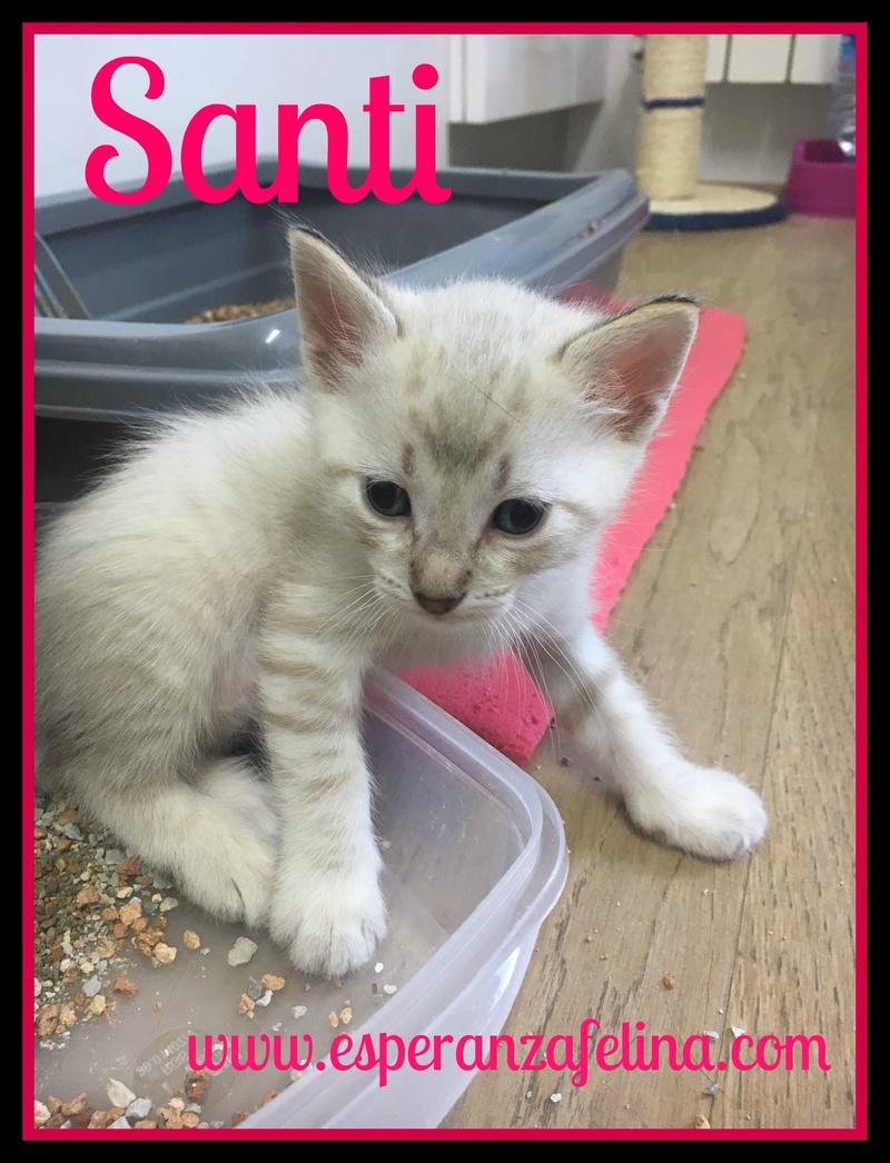 Santi, precioso blanquito en adopción. Álava (F.N aprox: 03/05/2017) ¡Adoptado! Santi_10