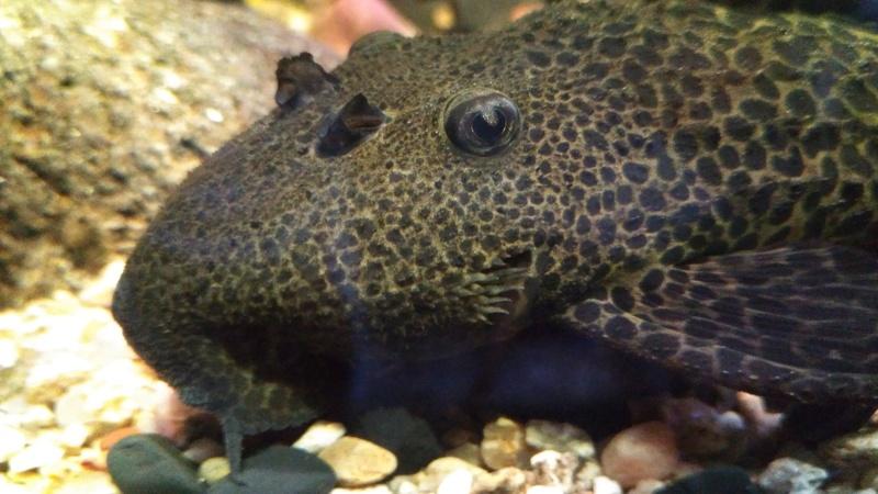 Pseudacanthicus leopardus  (Fowler, 1914) LDA073 L600 - Página 2 Img_2059