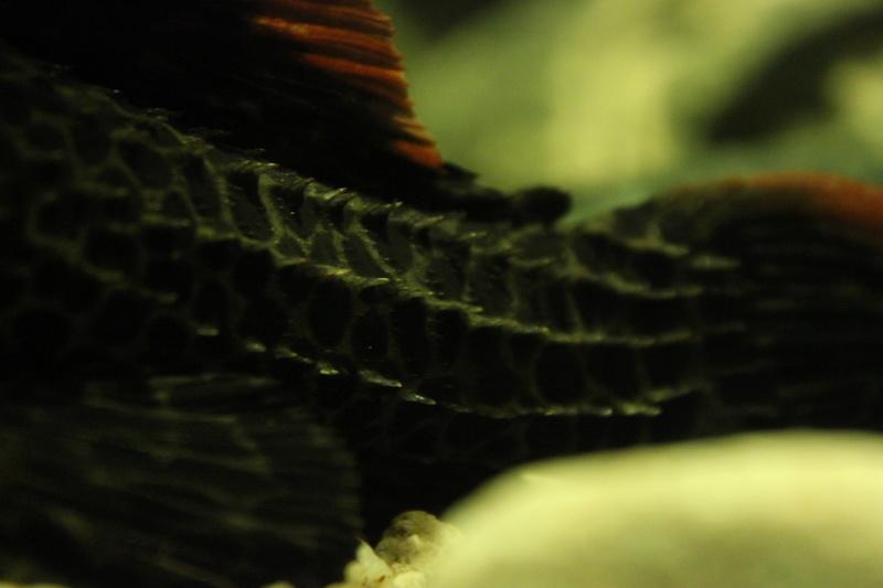 Pseudacanthicus leopardus  (Fowler, 1914) LDA073 L600 Img_9515