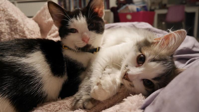 THOR,chaton trouvé rue du Parc à LILLERS avec son frére P1000112