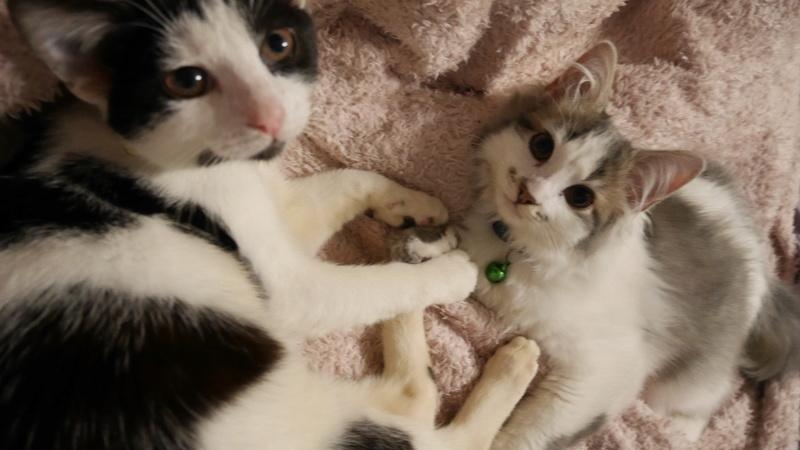 THOR,chaton trouvé rue du Parc à LILLERS avec son frére P1000113