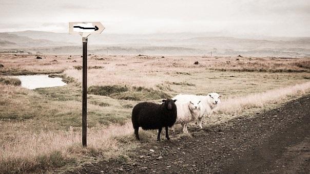 Vapaasana Sheep-10
