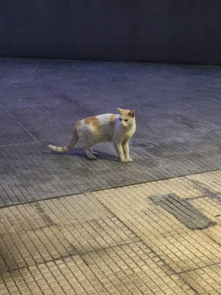 Gato casero en Servigal Fb_img12