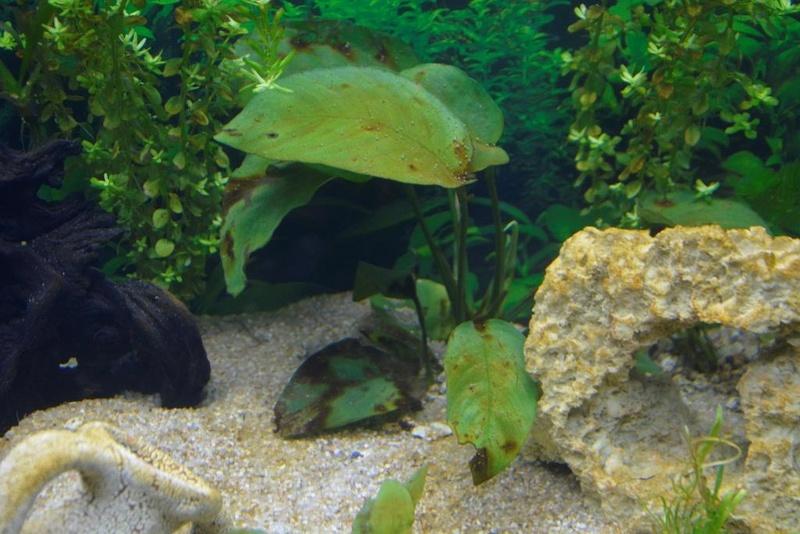 Un dépot marron dans tout l'aquarium...de 8 jours. _dsc3831