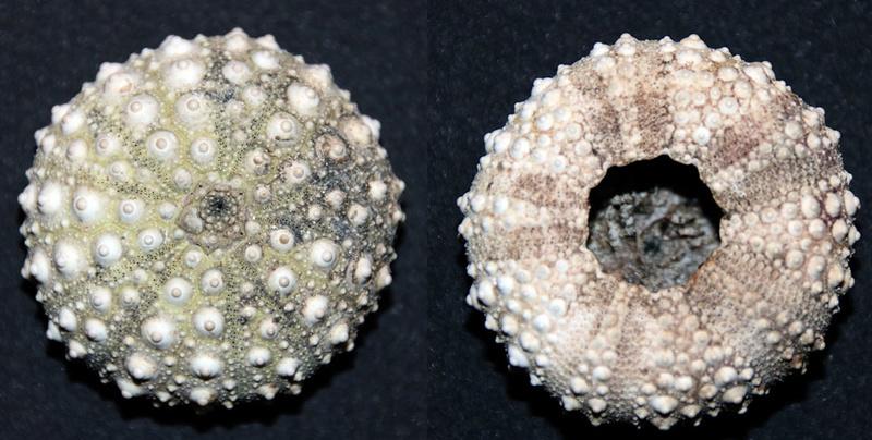 Stomopneustoida - Stomopneustidae - Stomopneustes variolaris (Lamarck, 1816) Img_9717