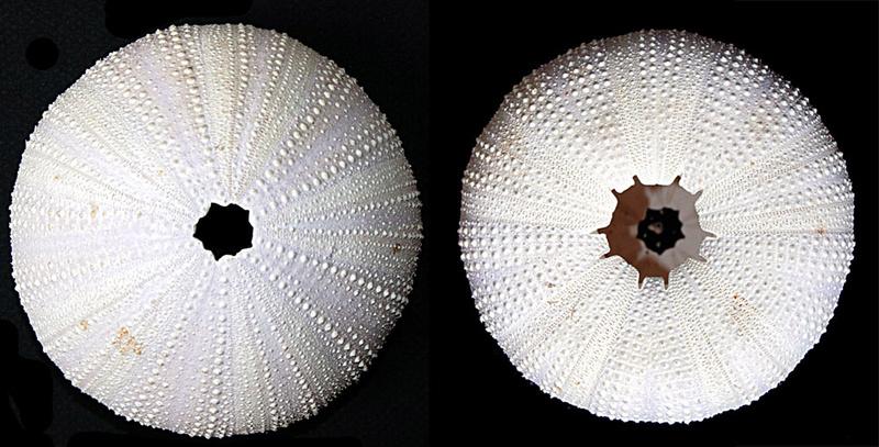 Camarodonta - Toxopneustidae - Sphaerechinus granularis (Lamarck, 1816)  Img_9814