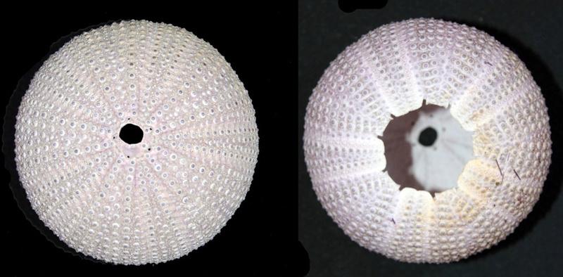 Camarodonta - Toxopneustidae - Sphaerechinus granularis (Lamarck, 1816)  Img_9816