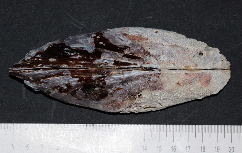 Mytilus californicus à confirmer ou pas !  Liloupat à voir Img_9911