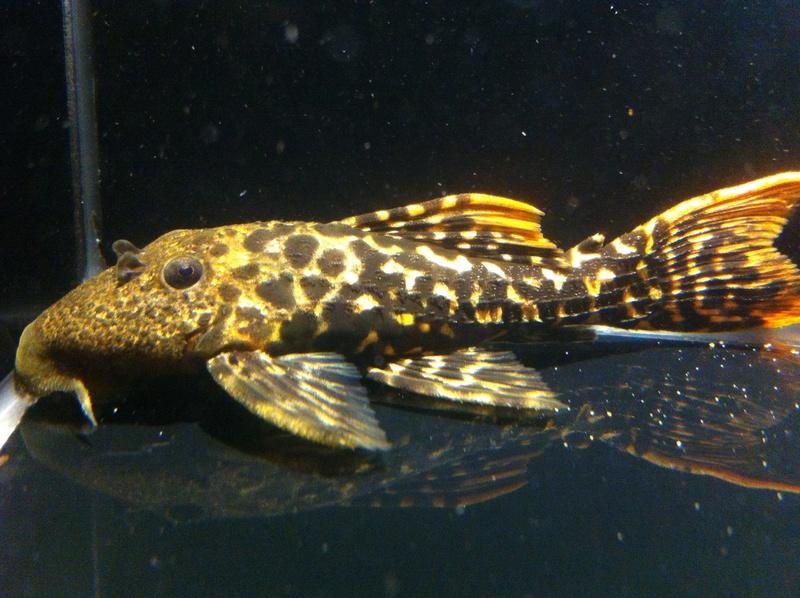 Pseudacanthicus sp. (L273), Titanicus Pleco Iphone14