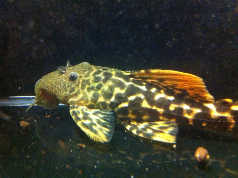 Pseudacanthicus sp. (L273), Titanicus Pleco Iphone19