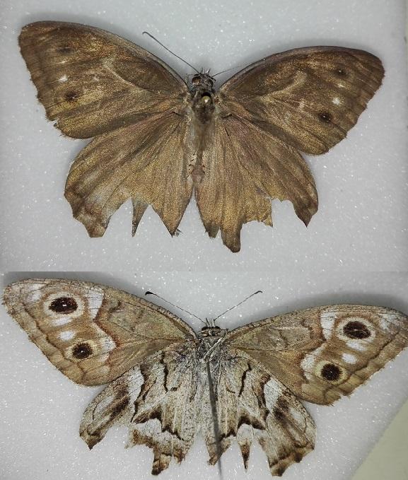 [identificado] Lepidoptera / Nymphalidae Aaabor10