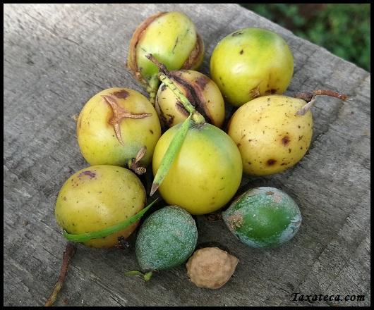 Afrocarpus gracilior Aafroc10