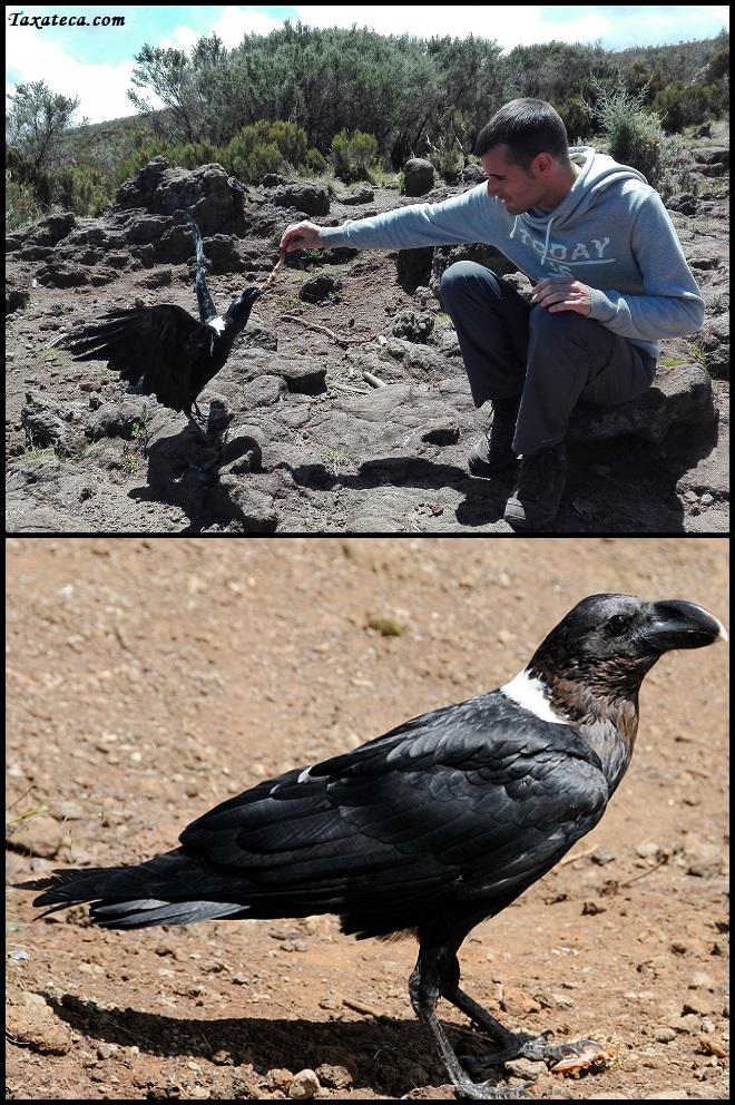 Corvus albicollis Corvus10