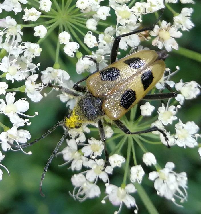 [identificado] Coleoptera / Cerambycidae Img_2012
