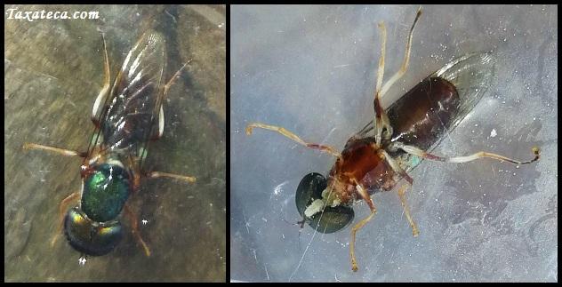 Diptera / Syrphidae Img_2015