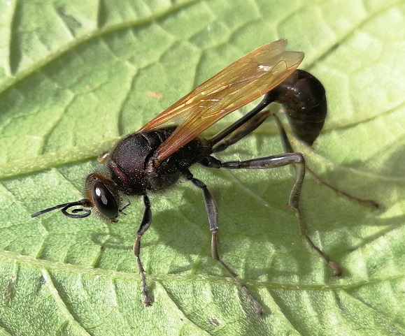 [identificado] Hymenoptera Madagascar Img_2016