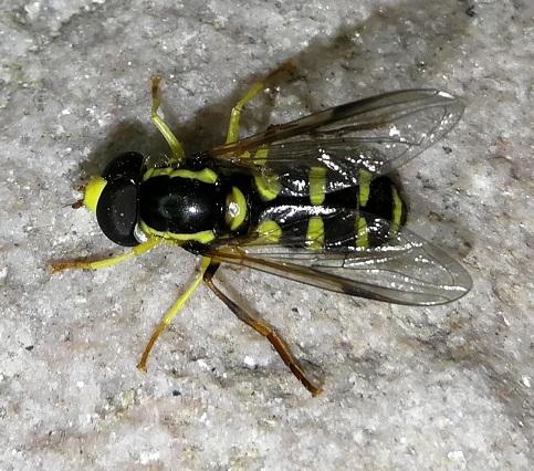 Diptera / Syrphidae Img_2025