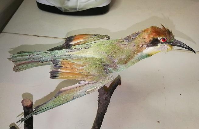 [identificado] Aves / Coraciformes Img_2027