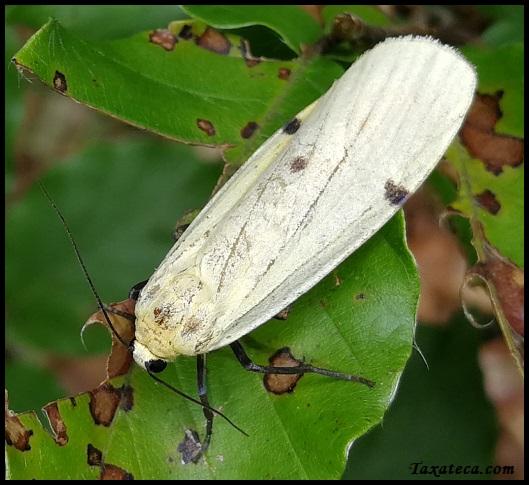 [identificado] Lepidoptera Alpes Suizos Xxxxxx10