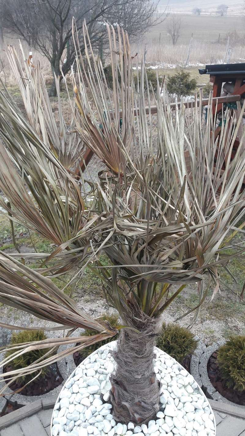 Trachycarpus fortunei, část 2 - Stránka 2 16776911