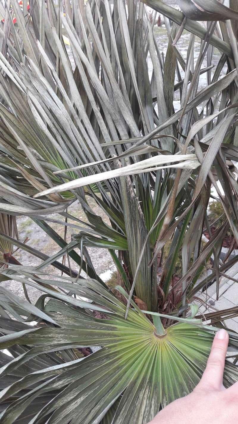 Trachycarpus fortunei, část 2 - Stránka 2 16833311