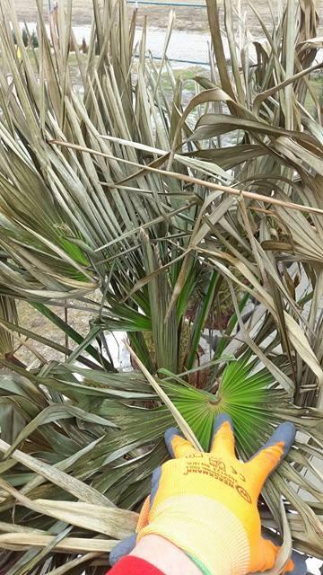 Trachycarpus fortunei, část 2 - Stránka 2 16839511