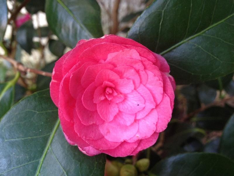 Camellia - Kamelien - Seite 4 Img_4112