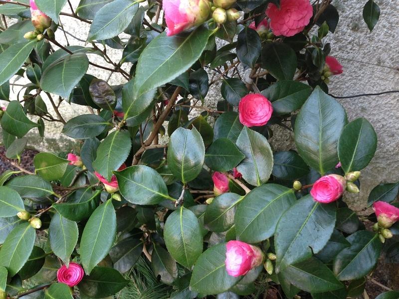 Camellia - Kamelien - Seite 4 Img_4113