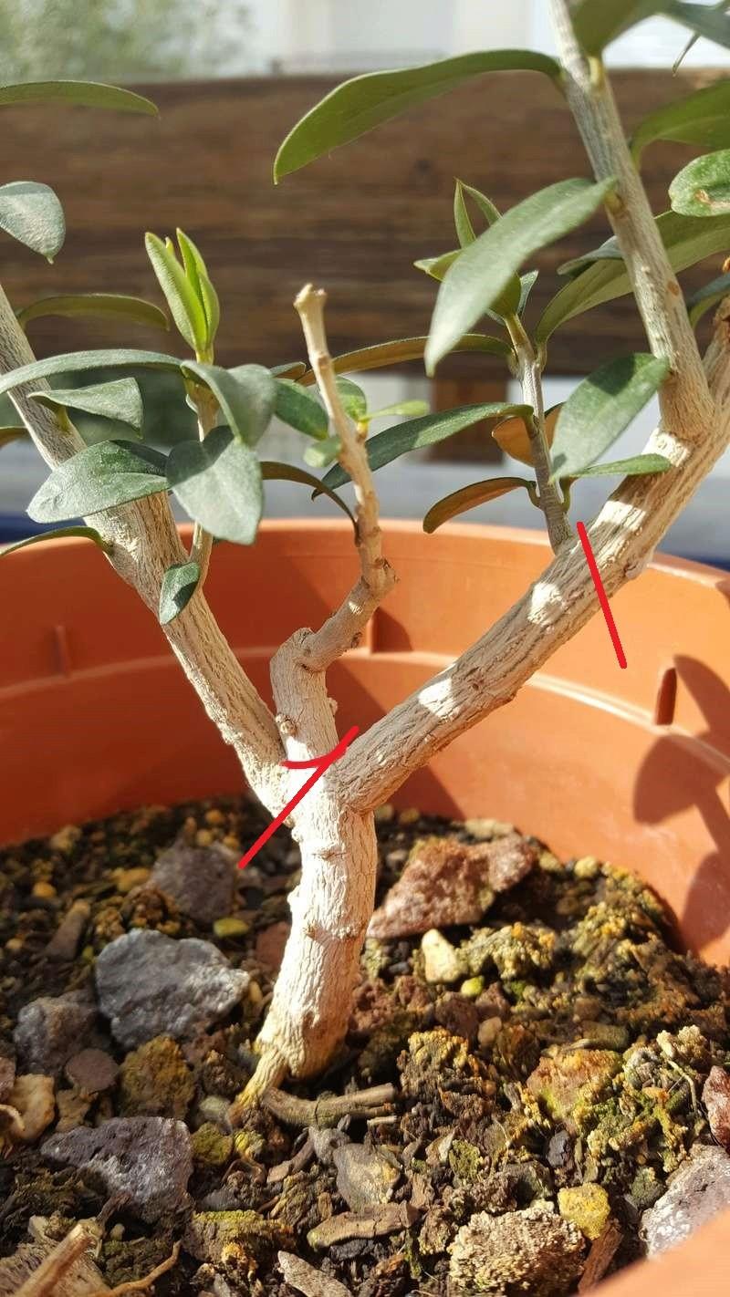 ¿Debería cortar esa rama? (ACTUALIZACIÓN) Olivo10